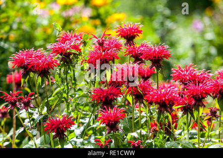 Beautiful red perennial garden flowers, Bee Balm, Oswego Tea, Beebalm, Bergamot - Monarda - Stock Photo