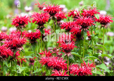 Beautiful red perennial garden plant, Bee Balm, Oswego Tea, Beebalm, Bergamot - Monarda - Stock Photo