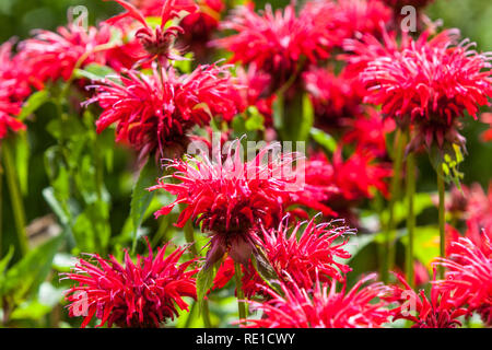 Beautiful red perennials flowers, Bee Balm, Oswego Tea, Beebalm, Bergamot - Monarda - Stock Photo