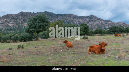 Cows in the Dehesa de Colmenarejo, La Pedriza de Manzanares, Sierra de Guadarrama National Park, Manzanares el Real, Madrid, Spain, Europe - Stock Photo
