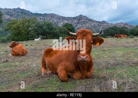 Cows in the Dehesa de Colmenarejo, La Pedriza de Manzanares, Sierra de Guadarrama National Park, Manzanares el Real, Madrid, Spain, Europe - Stock Photo