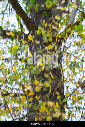Populus in autumn, Dehesa de Colmenarejo, La Pedriza de Manzanares, Sierra de Guadarrama National Park, Manzanares el Real, Madrid, Spain, Europe - Stock Photo