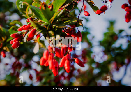 cornel branches with ripe red berries on the background of the old wooden fence - Stock Photo