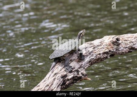 Murray Turtle - Stock Photo