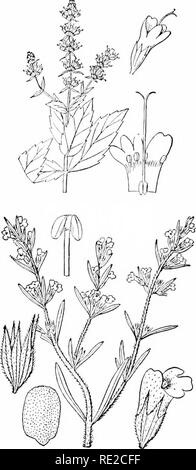 . Plants and their uses; an introduction to botany. Botany; Botany, Economic. Fig. 134.—Thyme (Thymus rulgaris. Mint Family, Labiatce). Plant in flower. (Briquet.)—A pcreimial, low and shrubby with whitish-hairy aromatic stems and leaves; flowers lilac or purplish; nutlets brownish. Native home, southern Europe. Fig, 135.—Spearmint {Mentha spicata, Mint Family, Lahmtw). Flowering top, reduced. Flower. Corolla, stamens, and pistil. (Britton and Brow^n.)—A smooth perennial herb; flowers pale purplish: nutlets brown. Native home, Europe. Fig. 136.—Summer Savory (Satureia hortensis. Mint Family. L - Stock Photo