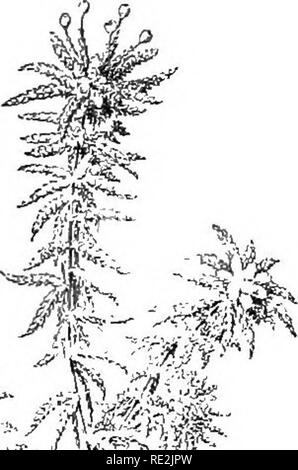 . Introduction to botany. Botany. IMUSfSES, LIVER'ORT,S, AND FERNS 267. 252. The nutrition of mosses. The stem-and-leaf arrange- ment of the mosses exposes chlorophyll to the light in a differ- ent way from that which was found in the algse. A'ith the leaves arranged radially about the stem much more chlorophyll is exposed than could be exposed in the same space by a prostrate plant. The importance of the stem in holding these leaves up into the air, thus making the radial arrangement possible, is great. The expanded portions of the leaves are a single layer of cells in thickness, while the - Stock Photo