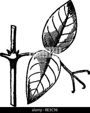 . The movements and habits of climbing plants. Climbing plants; Plants. CD TENDKIL-BEAliEES. Ohap. UL BiGNONiACE^.—This family contains many tendril- bearers, some twiners, and some root-climbers. The tendrils always consist of modified leayes. Nine species of Bignonia, selected by hazard, are here described, in order to show what diversity of structure and action there may be within the same genus, and to show what remarkable powers some tendrils possess. The species, taken together, afford connecting links. Fig. 6. Uimamed species from Kew. between twiners, leaf-climbers, tendril-bearers, an - Stock Photo