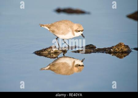 Puna plover (Charadrius alticola), Laguna de Chaxa, Atacama desert, Antofagasta region, Chile, South America - Stock Photo