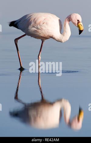 Puna or Jamess Flamingo (Phoenicoparrus jamesi), Laguna de Chaxa, Atacama desert, Chile, South America - Stock Photo