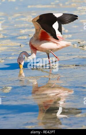 Puna or Jamess Flamingo (Phoenicoparrus jamesi), Laguna Hedionda, Potosi, Bolivia, South America - Stock Photo