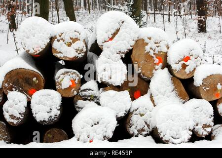 Cut-down trees, tree trunks in a forest, marked for the forestry, snowed in - Stock Photo