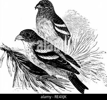 . An illustrated manual of British birds. Birds. FRINGILLIN^. 203. THE TWO-BARRED CROSSBILL. LoxiA BiFASCiATA (C. L. Brehm). This species—sometimes called the European White-winged Crossbill, to distinguish it from the American form—inhabits the coniferous forests of Northern Russia and Siberia as far as Kam- chatka and the Pacific; wandering in autumn and winter to South Sweden, Denmark, Heligoland, North Germany, Holland, Belgium, the north of France, Switzerland, North Italy, Austria and Poland. In our islands the first recorded specimen was obtained near Belfast, Ireland, on May nth 1802,  - Stock Photo