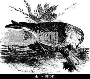 """. An illustrated manual of British birds. Birds. FRINGILLIN^. 187. """"^•ll""""/' t%.- THE LINNET. Lin6ta cannXbina (Linnaeus). Owing lo its seasonal changes of plumage this species is often known as the Grey Linnet; also as the Red or Brown Linnet, to distinguish it from the Greenfinch, which is frequently styled the Green Linnet. It is widely distributed throughout the greater part of the British Islands, especially on uncultivated lands and furze- covered tracts ; but in the mountain-regions of Scotland it is repre- sented by the Twite. Near Gairloch in Ross-shire it is almost unknown,  - Stock Photo"""