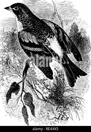 . An illustrated manual of British birds. Birds. FRINGILLIN^. t85. THE BRAMBLING. FRiNcfLLA MONTiFRiNofLLA, Linnaeus. This species is said to pass through the Shetlands on both migra- tions, but its appearance is decidedly irregular in the Orkneys, as well as in the west of Scotland generally; while even on the east side it is seldom abundant to the north of the Firth of Forth, though immense flocks are sometimes observed in the Lothians. Throughout October many arrive annually on the north-east coast of England, especially the Humber district, but further south the relative abundance of the B - Stock Photo