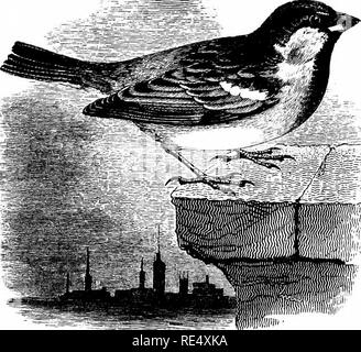 . An illustrated manual of British birds. Birds. FRINGILLIN^. 179. THE HOUSE-SPARROW. Passer dom^sticus (Linnaeus). The House-Sparrow is generally distributed throughout Great Britain and Ireland wherever human habitations are to be found, except near some of the high moorland farm-houses and a few of the most elevated villages. In proportion as land is brought under cultivation, the Sparrow makes its appearance and rapidly increases, so that it is now established in the Inner Hebrides, the Orkneys, the Shetlands, and other places where it was formerly unknown. As yet the House-Sparrow does no - Stock Photo