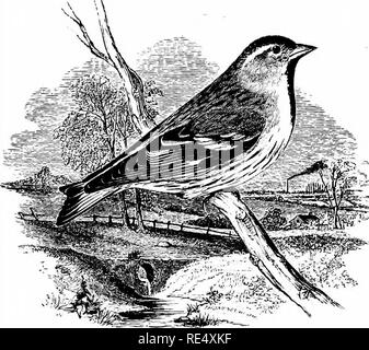 . An illustrated manual of British birds. Birds. FRINGILLIN^. 175. THE SISKIN. Cardu^lis sp/nus (Linnffius). The Siskin, or Aberdevine as it has been called since the time of Albin, is principally known in England and Wales during winter and on its migrations to and from its more northern breeding- quarters ; but there is evidence that, it has bred, exceptionally, in Surrey, Sussex, and perhaps some other southern counties. In the north, where fir-woods are more abundant, it has nested in the county of Durham ; while a few pairs breed regularly in some parts of Cumberland, and in the Solway di - Stock Photo