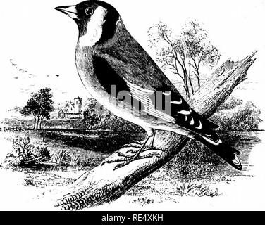 . An illustrated manual of British birds. Birds. FRINGILLIN^. 173. THE GOLDFINCH. Cardu]Slis ^legans, Stephens. Owing to the arts of the bird-catcher, as well as to improve- ments in cultivation which have done away with many of the tracts formerly covered with thistles and other weeds, the Goldfinch has undoubtedly decreased in numbers during the last half century; nevertheless, the Wild Birds' Preservation Act, and perhaps agricul- tural depression, have somewhat operated in its favour during the past twelve years. Though local, and principally to be found during the breeding-season in the n - Stock Photo