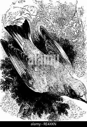. An illustrated manual of British birds. Birds. FRINGILLIN/E. 169. THE GREENFINCH. LiGURfNUS chl<5ris (Linnseus). The Greenfinch, sometimes called the Green Linnet, is a common and well-known resident species in the cultivated and wooded dis- tricts of Great Britain and Ireland. In the bleaker portions of our islands it is, naturally, less abundant; but it has spread with the in- crease of plantations of late years, and even in some of the Orkneys it now breeds freely, although to the Shetlands, as well as to the Outer Hebrides, it is still a mere visitor, chiefly in autumn. Large flocks a - Stock Photo