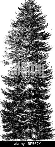 . Rural essays. Gardening; Architecture, Domestic; Landscape architecture; Trees. The Norway Spruce Fir. Fiill-t'rowii tree »t Stiidlcy, 132 ft. liigh ; diivm. of the trunk, 63^ ft.; hiuI of tlie liejul, »9 II. yScalelin.to-HJt.'l. Please note that these images are extracted from scanned page images that may have been digitally enhanced for readability - coloration and appearance of these illustrations may not perfectly resemble the original work.. Downing, A. J. (Andrew Jackson), 1815-1852; Curtis, George William, 1824-1892; Bremer, Fredrika, 1801-1865. New York, G. P. Putnam - Stock Photo