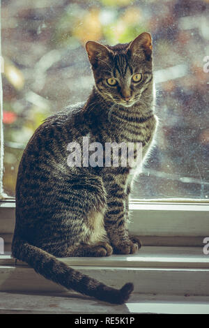 Cute grey tabby European cat sitting on the wooden window sill indoor. - Stock Photo