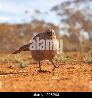 Apostle Bird, Mungo National Park, New South Wales, Australia