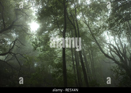 A photograph of a tree canopy taken from the forest floor during a foggy episode. The photograph was taken in the United Kingdom. - Stock Photo