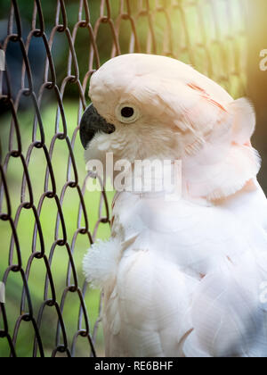 Close-up image of unhappy Cockatoo (Cacatua Vieillot) bird imprisoned in cage. Cruelty animal concept. - Stock Photo