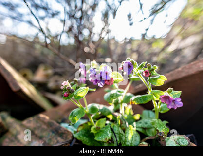 Wareham, UK. Sunday 20th January 2019. Flowers come out unusually early on a sunny day in the middle of January 2019. Credit: Thomas Faull/Alamy Live News - Stock Photo