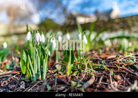 Wareham, UK. Sunday 20th January 2019. Snowdrop flowers come out unusually early on a sunny day in the middle of January 2019. Credit: Thomas Faull/Alamy Live News - Stock Photo