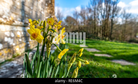Wareham, UK. Sunday 20th January 2019. Daffodil flowers come out unusually early on a sunny day in the middle of January 2019. Credit: Thomas Faull/Alamy Live News - Stock Photo