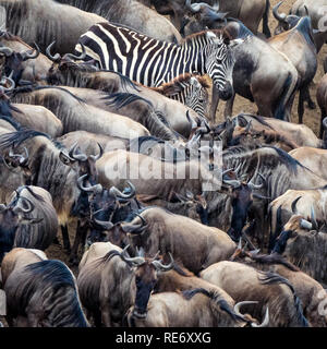 Wildebeest and zebras gather of the banks of the Mara River during the annual Greta Migration. Every year over one and a half million wildebeest make  - Stock Photo