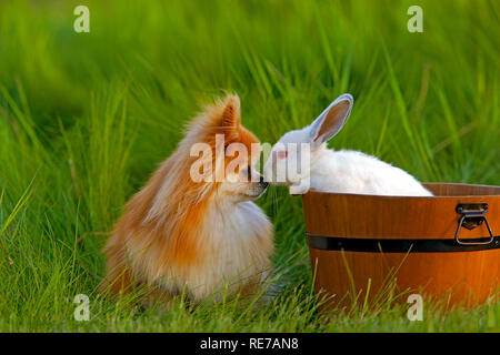 Pomeranian Dog and white Rabbit in wooden bucket greeting each other - Stock Photo