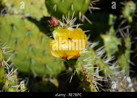 Bee gathering pollen from the yellow flower of a prickly pear cactus at Bolsa Chica Ecological Reserve. Prickly pear branches are edible when cooked. - Stock Photo