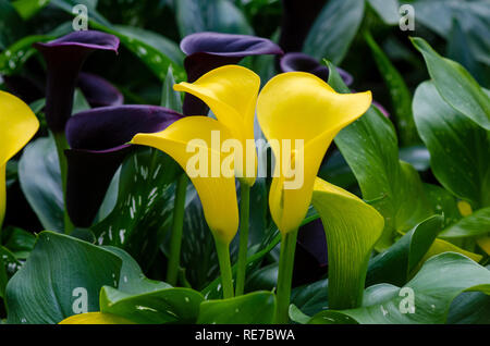 calla lily yellow Three flowers in the lush flower garden - Stock Photo