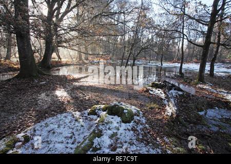 Beech Fagus sylvatica and Silver birch Betula pendula near Warwickslade Bridge New Forest National Park Hampshire England - Stock Photo