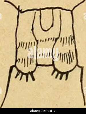 . Copépodes. Copepoda. Fig. 24. Cyclops oithonoides Sars. (D'après Schmeil.) Lamelle basale des pattes de la 4e paire de la Q. Fig. 25. Cyclops oithonoides Sars. (D'après Schmeil.) Réceptacle séminal de la Ã. Fig. 26. Cyclops oithonoides Sars. (D'après Schmeil.) 5e patte de la Q. Habitat. Berne : Grosser Moosseedorfsee (Steck 1893, Burckhardt 1900), Ger- zensee (La Roche 1906). Zurich : Katzensee, TLirlersee (Amberg 1900), Liitzelsee (Waldvogel 1900), Greifensee (Guyer 1910). Tessin : lago di Muzzano (Amberg 1900, 1903), lac de Lugano (Amberg 1900). 15. Cyclops oithonoides G. O. Sars var - Stock Photo