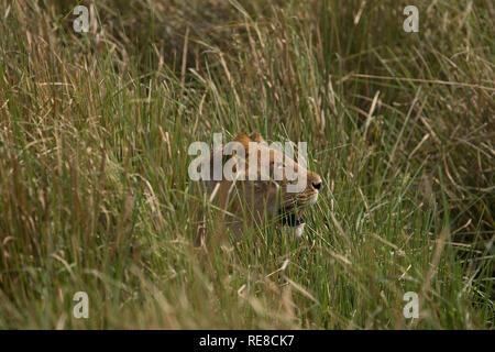 a lioness lies hidden in the grass watching a herd of buffalo - Stock Photo