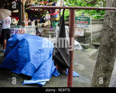 Bali, Indonesia - June 23, 2015: Rousettus bat in the city on bali. Rousettus bat in the city on bali - Stock Photo