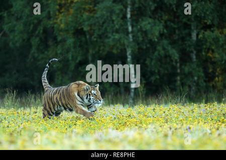 Amur tiger running in the grass - Panthera tigris altaica - Stock Photo