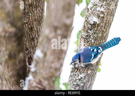 Closeup aerial high angle view of one blue jay Cyanocitta cristata bird perched on tree branch during winter snow in Virginia and vibrant plumage - Stock Photo