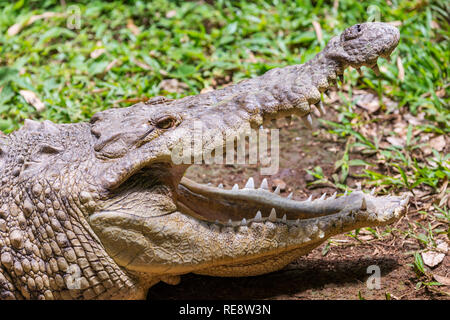 An extrmeme close-up of a crocodile head in the Zoo Ave rescue zoo, near San Jose Costa Rica, with it's mouth wide open showing it's huge teeth. - Stock Photo