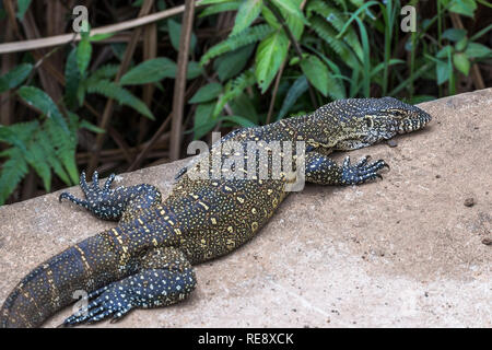 Big lizard on stone in St. Lucia South Africa - Stock Photo