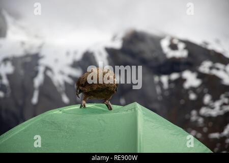 Cheeky Kea (Nestor notabilis) inspecting a hikers tent in New Zealand - Stock Photo