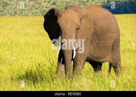 Single african elephant close-up in african savanah. Landscape of Africa - Stock Photo