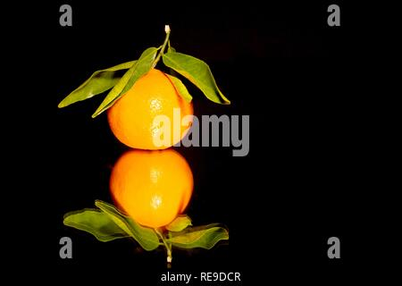 Single Clementine with Leaves (Citrus × clementina). Close Up against a Black Background. Traditional Christmas Food. - Stock Photo