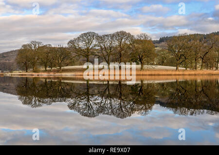 A swan glides across the mirror-like reflections of the trees and reeds on Esthwaite Water near Hawkshead on a calm, cold winter's morning - Stock Photo