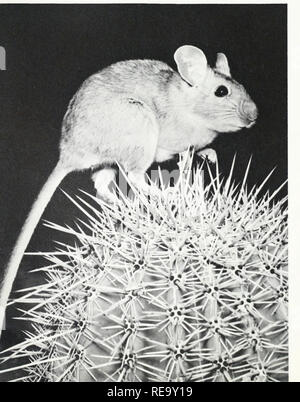 . The continent we live on. Physical geography; Natural history. , iiictus wren on a cholla. Facing page: The mighty Saguaro Cactus and the fuzzy- coated Cholla dominate the Sonoran deserts. A pack rat on a barrel cactus. These mammals romp about among the most densely spined cactuses.. spirally arranged rows of lumps all over them. Like all cactuses, they contain a sort of skeleton—in this case a cylindrical tube perforated all over with spirally distributed lines of irregular- sized holes. This tube is woody and is filled with pulpy material and wrapped around outside with a considerable th - Stock Photo