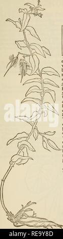 . Contrafayt Kreèuterbuch : nach rechter vollkommener art, vnnd Beschreibung der Alten, besstberèumpten èartzt, vormals in Teèutscher sprach, der masssen nye gesehen, noch im Truck aussgangen ; sampt einer gemeynen inleytung .... Botany, Medical; Botany; Herbs; Medicinal plants; Botany; Plants, Medicinal. Mfcrtöurß+. Please note that these images are extracted from scanned page images that may have been digitally enhanced for readability - coloration and appearance of these illustrations may not perfectly resemble the original work.. Brunfels, Otto. Strasssburg : Schotten - Stock Photo