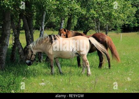 Pferde laufen über die Felder in den Sanddünen, einem Naturschutzgebiet in Baden-Baden Sandweier - Stock Photo