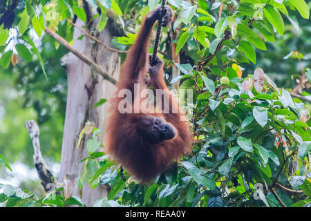 orangutans or pongo pygmaeus is the only asian great found on the island of Borneo and Sumatra - Stock Photo